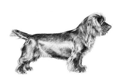 Sussex Spaniel Puppies