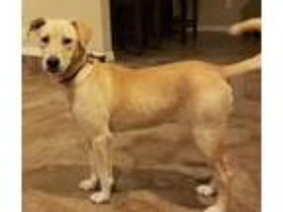 Adopt Brook a Tan/Yellow/Fawn Labrador Retriever / Mixed dog in Bloomingdale