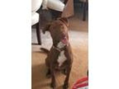 Adopt Connie a Brown/Chocolate - with White Labrador Retriever / Terrier
