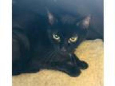 Adopt Molly a All Black Domestic Shorthair / Mixed (short coat) cat in Hudson