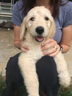 Goldendoodle PUPPY FOR SALE ADN-94290 - Goldendoodle puppies