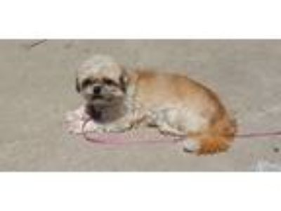 Adopt Lady a Red/Golden/Orange/Chestnut - with White Shih Tzu / Mixed dog in