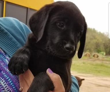 Labrador Retriever PUPPY FOR SALE ADN-129220 - ACK Black Lab Puppies