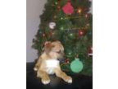 Adopt Roscoe 1/19/19 a Red/Golden/Orange/Chestnut - with Black German Shepherd