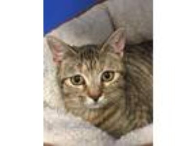 Adopt Olivia a Brown Tabby Domestic Shorthair (short coat) cat in Bryson City