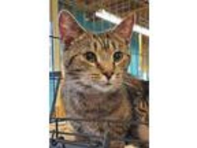 Adopt Abby a Brown Tabby Domestic Shorthair / Mixed (short coat) cat in