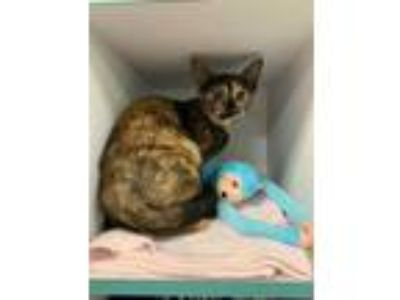 Adopt Yin a Brown or Chocolate Domestic Shorthair / Domestic Shorthair / Mixed