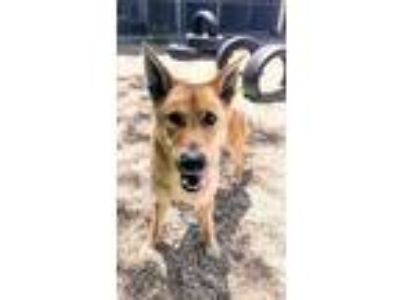 Adopt Elton John a Red/Golden/Orange/Chestnut Mixed Breed (Large) / Mixed dog in