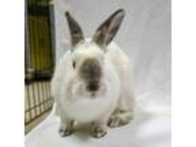 Adopt Marshmallow a American, Bunny Rabbit