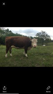 Miniature Hereford Cow
