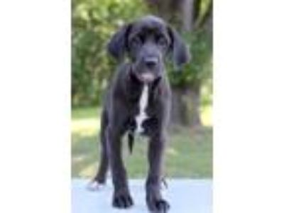 Adopt Shakira a Black - with White Labrador Retriever / Mixed dog in Waldorf