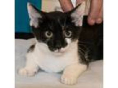 Adopt Jeri a Black & White or Tuxedo Domestic Shorthair / Mixed (short coat) cat