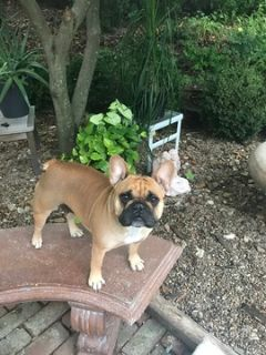 French Bulldog PUPPY FOR SALE ADN-87828 - 2 Year Old Proven Producer for Sale