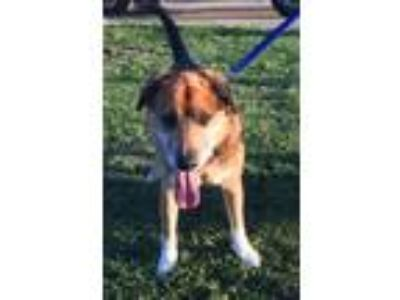Adopt Buddy a Black - with Tan, Yellow or Fawn German Shepherd Dog / Mixed dog