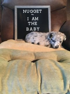 Australian Shepherd PUPPY FOR SALE ADN-90258 - Aussie Pups For Sale