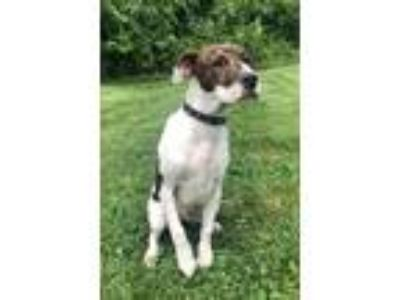 Adopt Cash a Brindle - with White Plott Hound / Boxer / Mixed dog in Waldorf