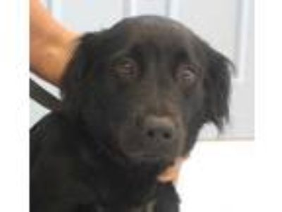 Adopt Magenta a Black Labrador Retriever / Mixed dog in Columbia, SC (25610646)