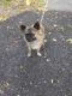 Rufus Pomeranian - Chihuahua Dog