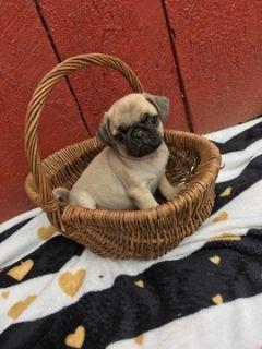Pug PUPPY FOR SALE ADN-92833 - Pug Puppies