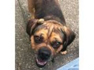 Adopt Piper KY a Brown/Chocolate - with Black Pug / Beagle / Mixed dog in