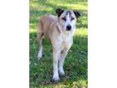 Adopt Coco a Tan/Yellow/Fawn - with White Anatolian Shepherd / Mixed dog in