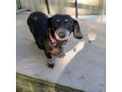 Adopt Shiloh a Dachshund, Mixed Breed