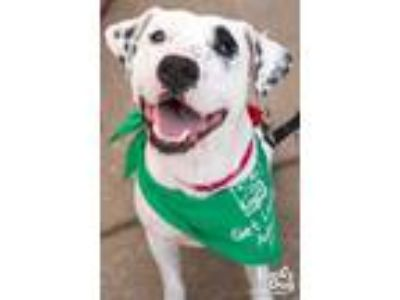 Adopt Dilly a Pointer