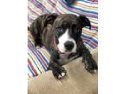Adopt Flash a Pit Bull Terrier, Beagle
