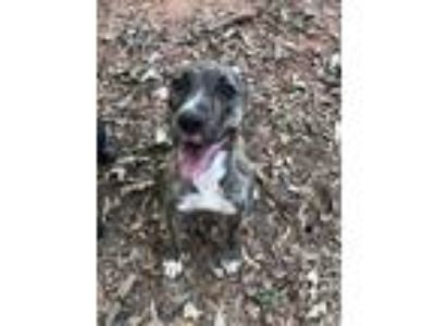 Adopt Raven a Brindle - with White Pit Bull Terrier / Hound (Unknown Type) dog