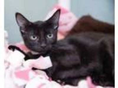Adopt Mikey a All Black Domestic Shorthair / Domestic Shorthair / Mixed cat in