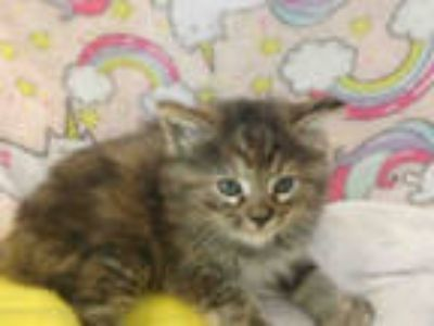 Adopt LACY a Brown Tabby Domestic Shorthair / Mixed (short coat) cat in
