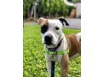 Adopt Kai a White American Pit Bull Terrier / Mixed dog in Honolulu