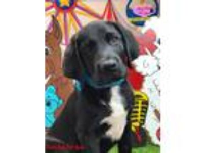 Adopt Ferris a Black - with White Labrador Retriever / Mixed Breed (Medium) /