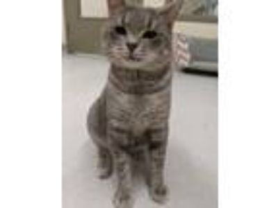 Adopt elroy a Gray or Blue Domestic Shorthair / Domestic Shorthair / Mixed cat