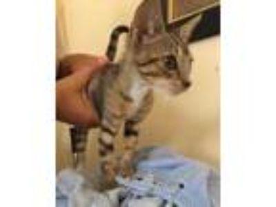 Adopt Sunni a Gray or Blue Domestic Shorthair / Domestic Shorthair / Mixed cat
