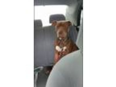 Adopt TRACKER a Brown/Chocolate American Staffordshire Terrier / Pit Bull