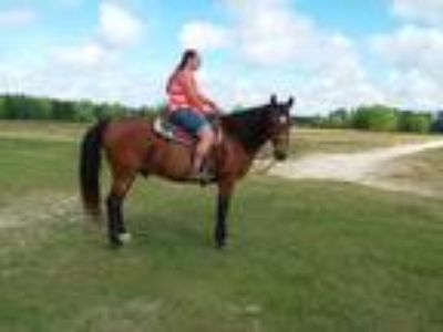 Great Trail horse for sale