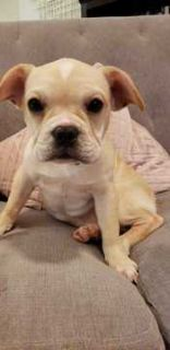 French Bulldog PUPPY FOR SALE ADN-103952 - 4 month old french bulldog