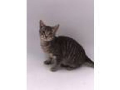 Adopt Bartholomeow a Domestic Mediumhair / Mixed (short coat) cat in Thousand