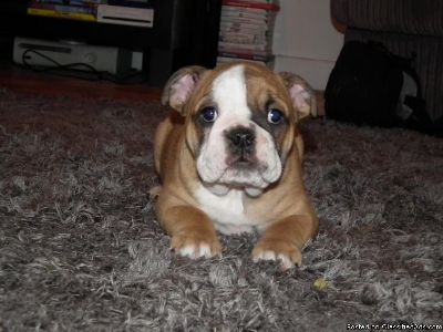 Exceptional Female English Bulldog Puppy