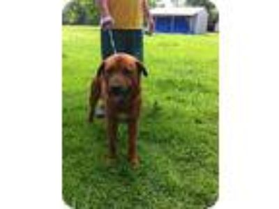 Adopt Hebert a Red/Golden/Orange/Chestnut Rottweiler / Golden Retriever / Mixed