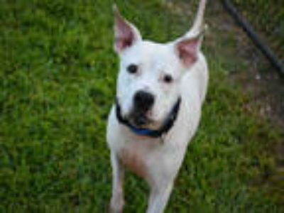 Adopt KYLAR a White American Staffordshire Terrier / Mixed dog in Fort