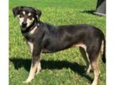 Adopt Annie a Black - with Tan, Yellow or Fawn Blue Heeler / Hound (Unknown