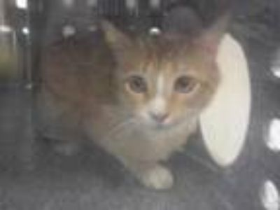 Adopt RIKKI a Orange or Red (Mostly) Domestic Shorthair / Mixed (short coat) cat