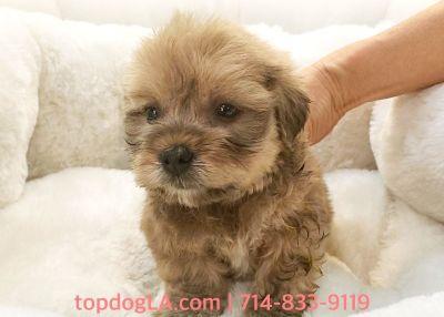 Shi-poo Puppy - Male - Cooper ($1,350)