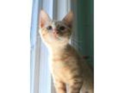 Adopt Sameer a Orange or Red Domestic Shorthair / Domestic Shorthair / Mixed cat