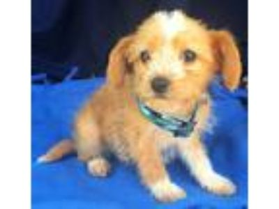 Adopt Gemini a Tan/Yellow/Fawn - with White Wirehaired Fox Terrier / Mixed dog