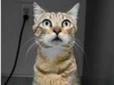 Adopt Cadillac a Domestic Shorthair / Mixed cat in Portland, OR (25779033)