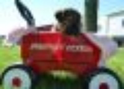 Hetti German Shepherd Dog - Mastiff Dog