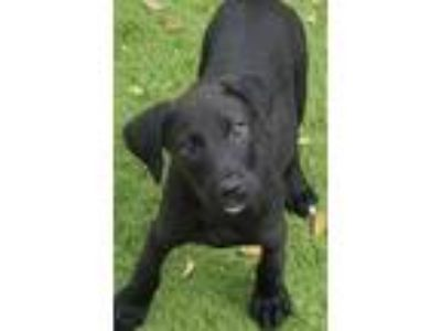 Adopt Minnie DD a Black - with White Labrador Retriever / Terrier (Unknown Type